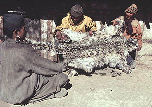 local people holding a snow leopard pelt