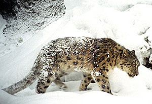 a weathered and weary snow leopard in the snow