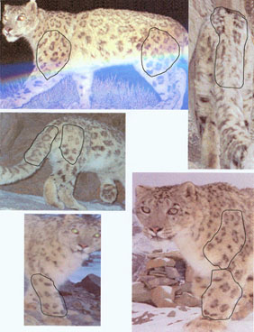 photos of camra trapped female snow leopard with identifying marks indicated