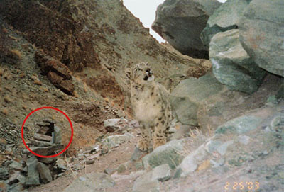 snow leopard investigating a scent-sprayed rock