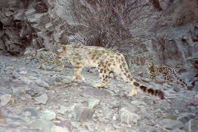 a female snow leopard with cubs