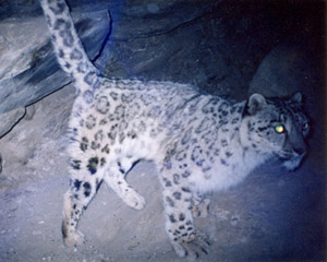 camera trapped snow leopard image courtesy PSL