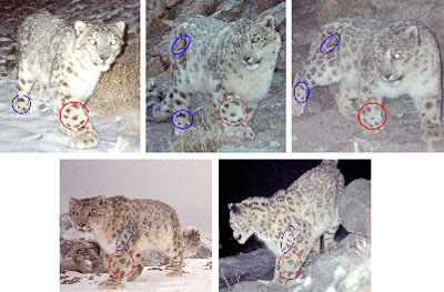 a series of photos showing how markings can identify individual snow leopards