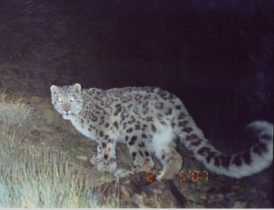 camera trapped snow leopard