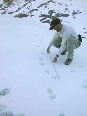 wildlife biologist measures snow leopard tracks in the snow