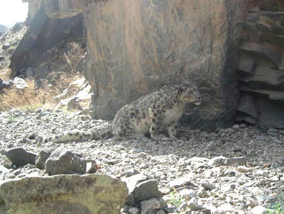 snow leopard making a scrape