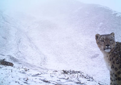 a wild snow leopard looks back