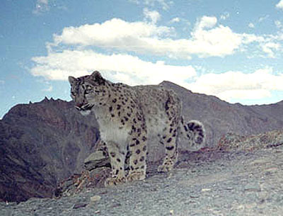 photo capture of a wild snow leopard