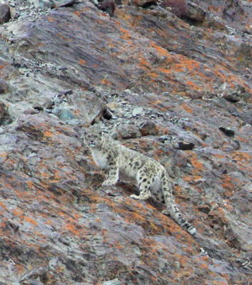 snow leopard as seen on the 2112 winter trek