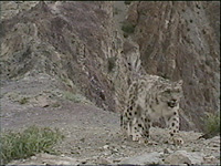 captured frame from adult snow leopard video