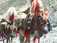 gaily decorated Nepalese mules wearing bells, bells, bells