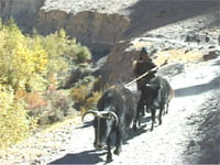 a woman leads her pack animals along a road