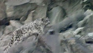 a snow leopard approaches her mate