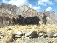 threshing barley with yak and pony