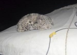 cub on tent