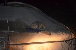 cub on roof of tent