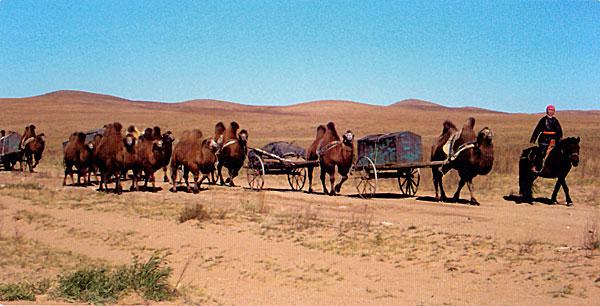 camels pulling trunks