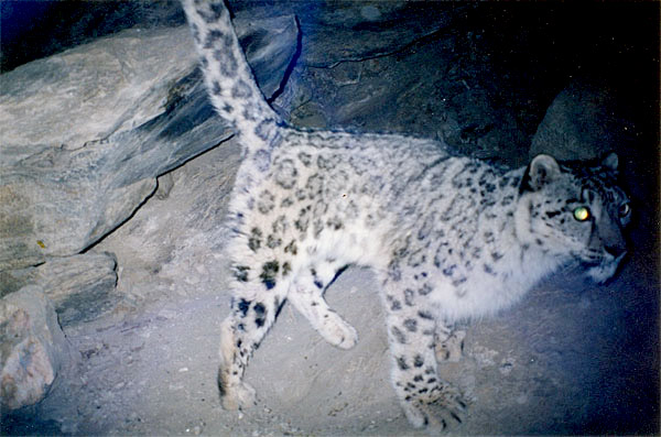 snow leopard spraying rock