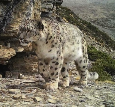 Wild snow leopard captured via trail camera by Tashi Ghale, GPN