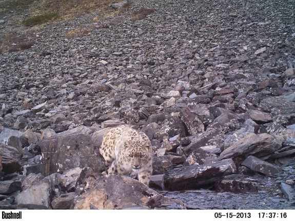 snow leopard captured by camera trap