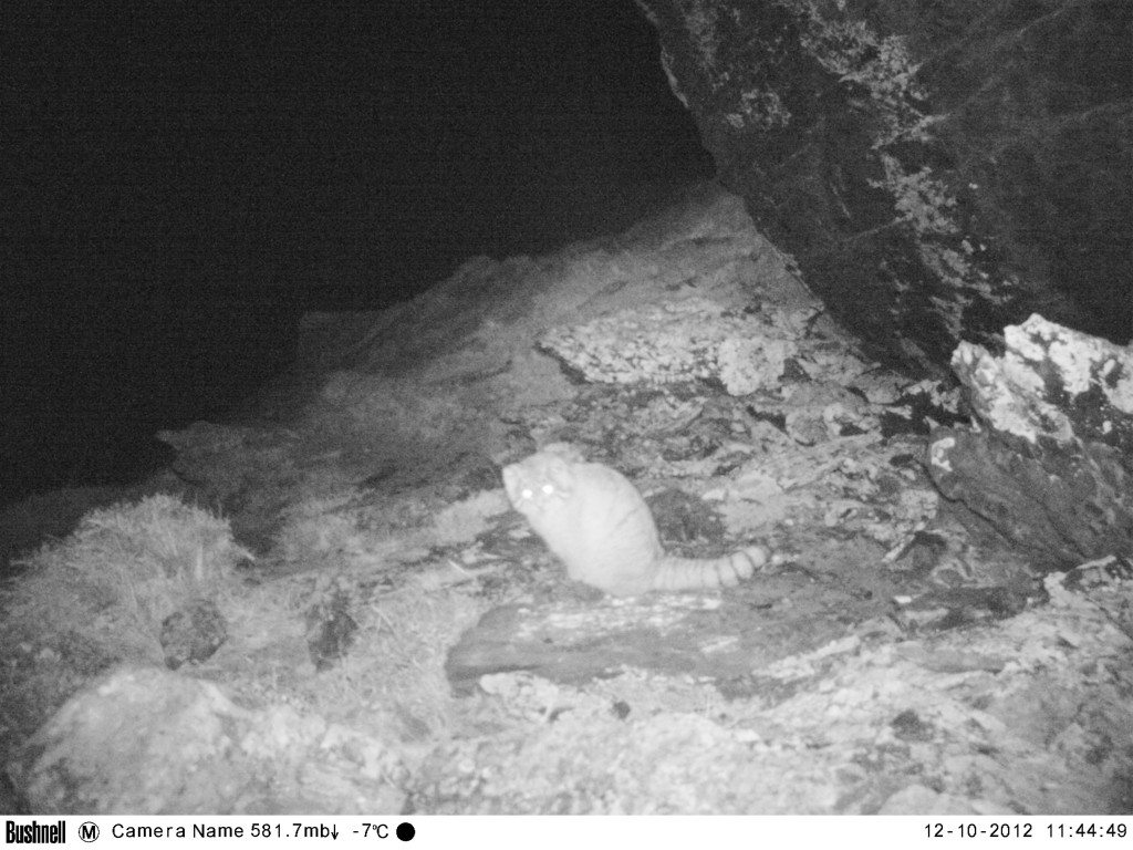 Pallas' cat captured on camera trap