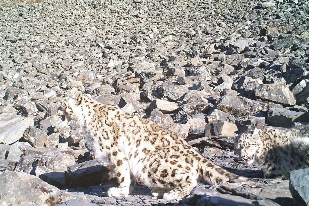 snow leopard & cub