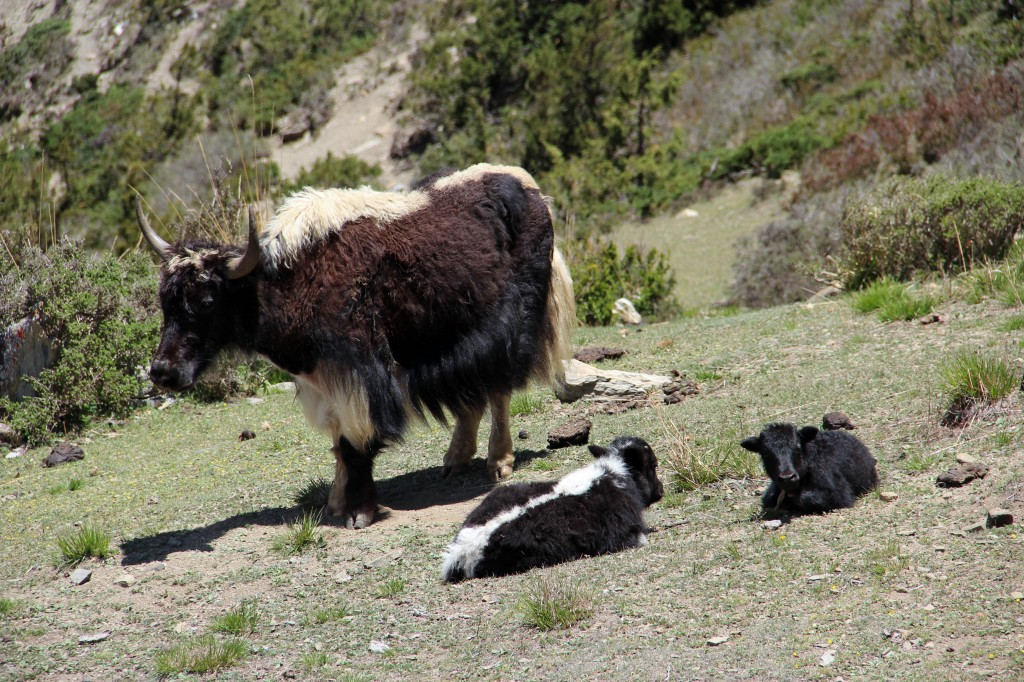 Adult yak with 2 young yaks