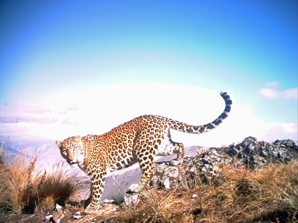 Common leopard on hillside