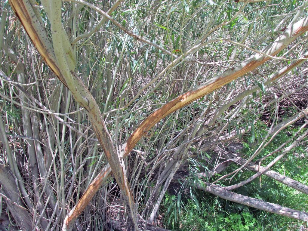 Sticks scraped by snow leoard