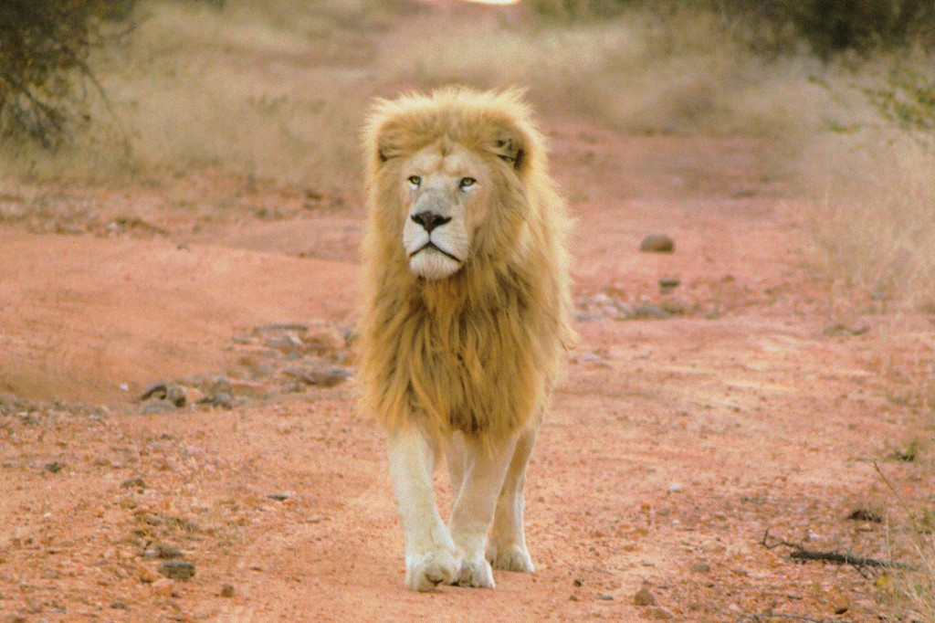 male white lion walking towards camera