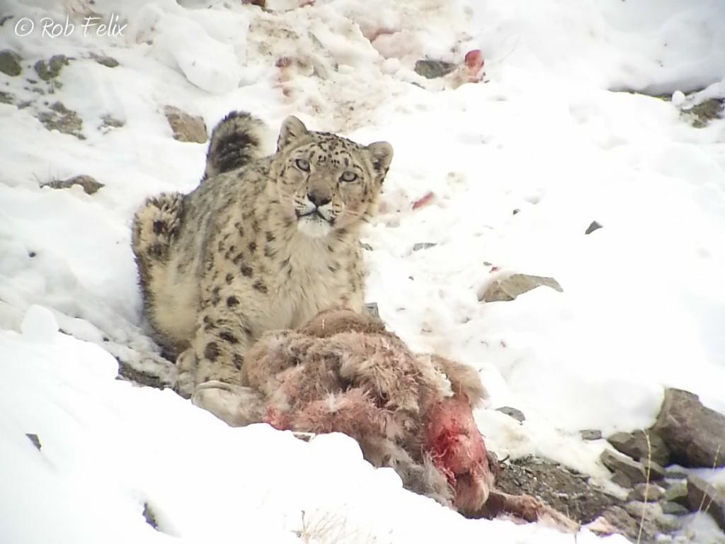 Snow leopard at blue sheep kill