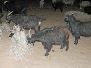 Predator Guard deterrent in scrub bush near goats