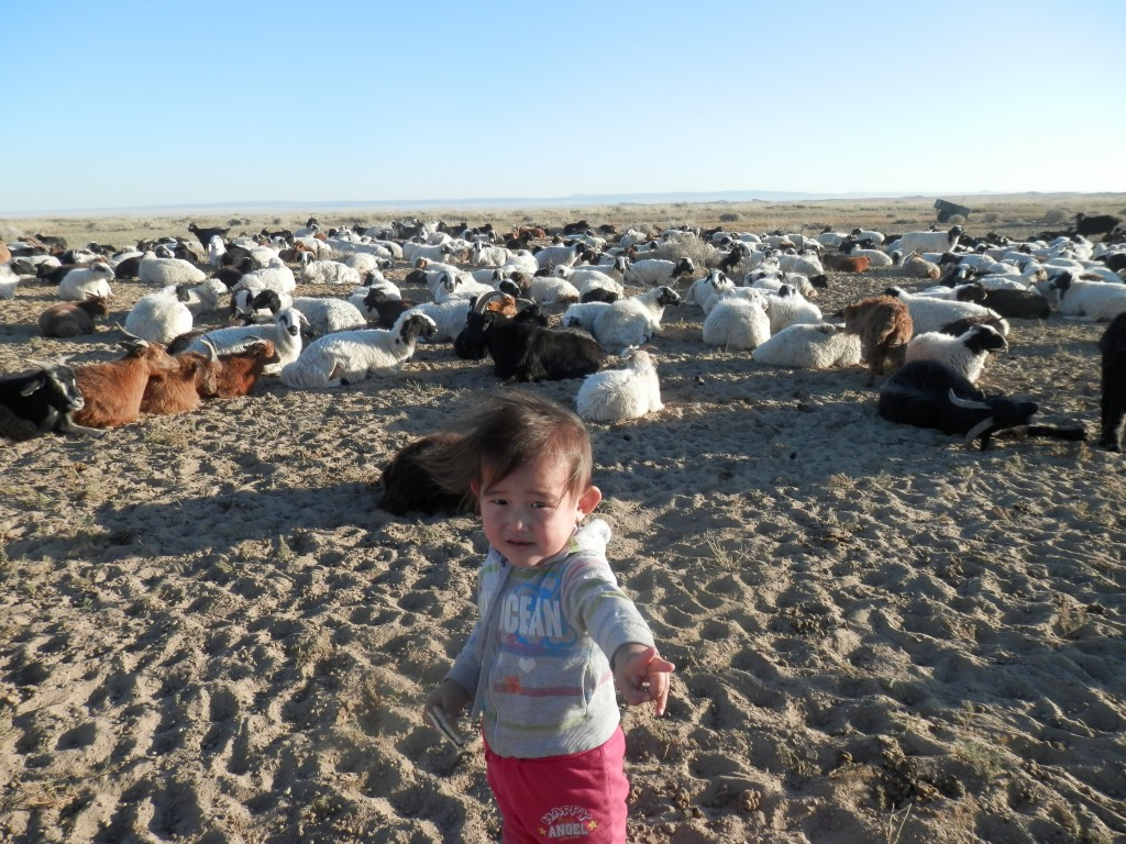 Little girl standing in front of goats