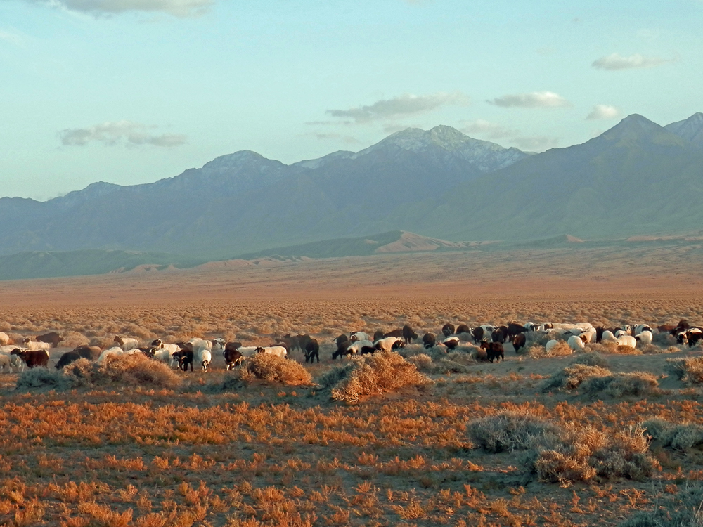 goat herd with mountains in background