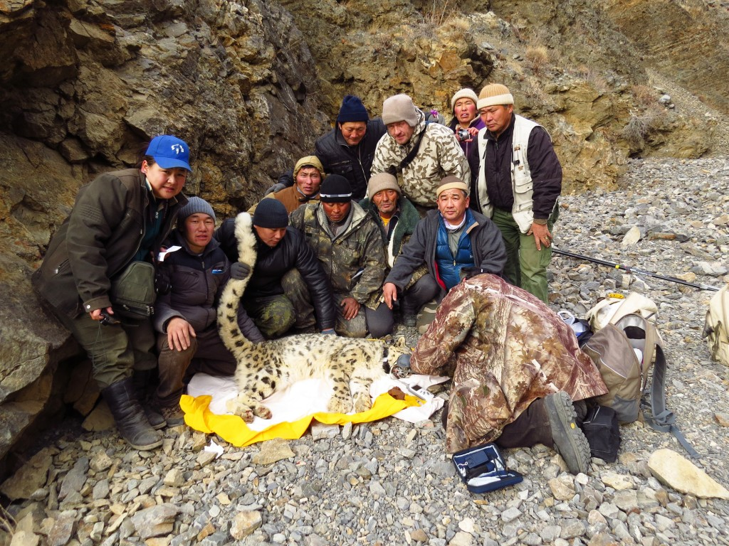 sedated snow leopard lying on yellow tarp with 12 people sitting and standing around it