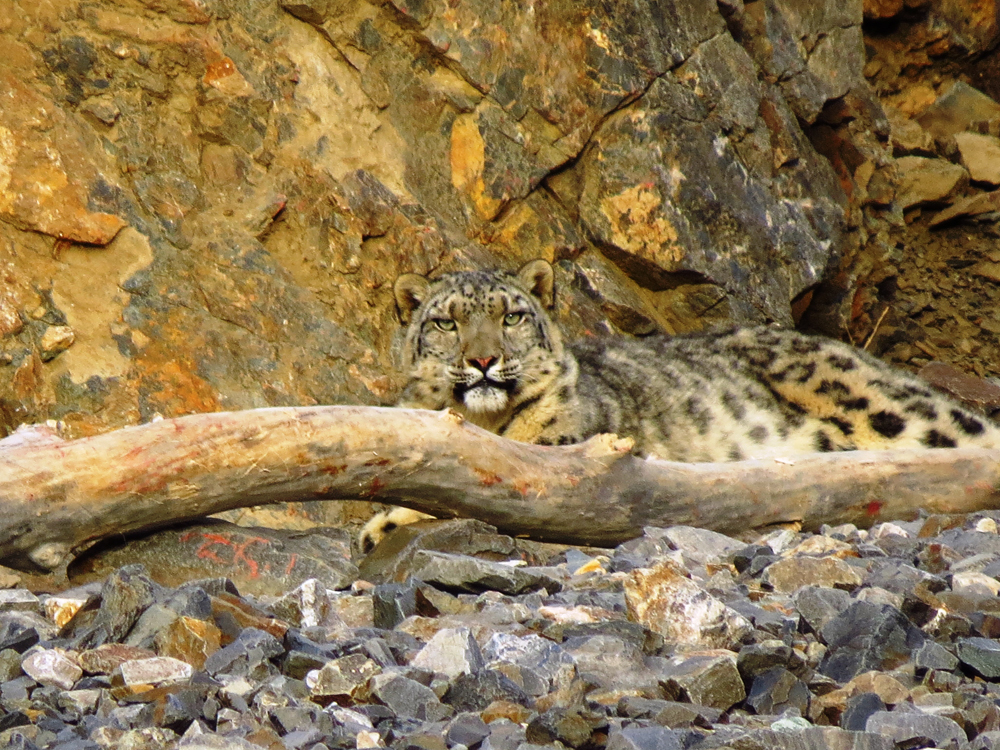 Snow leopard lying near rock face behind a log