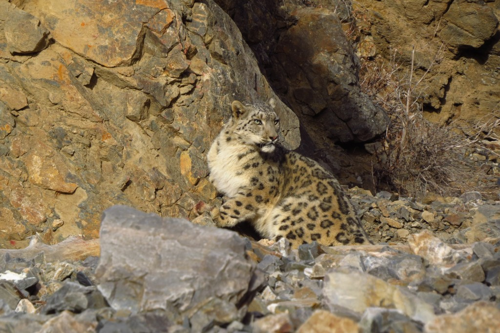 snow leopard sitting against rocks
