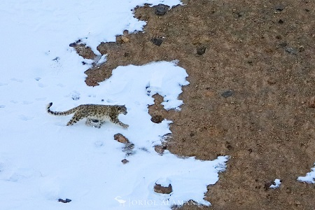 Alamany snow leopard