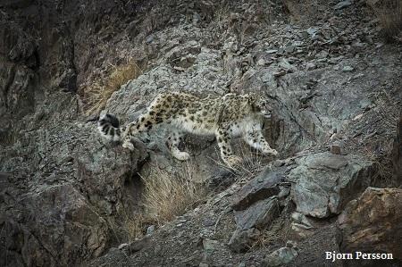 Bjorn Persson snow leopard