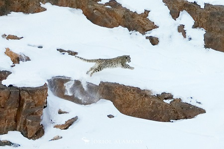 Oriol Alamany leaping snow leopard