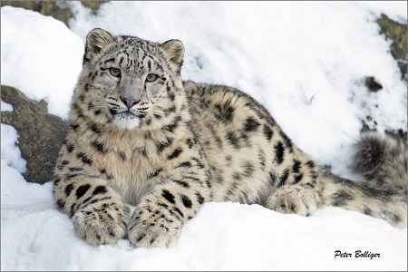 Snow Leopard ile ilgili görsel sonucu