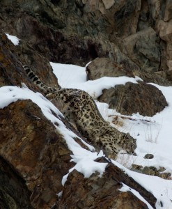 Snow Leopard Annual Report
