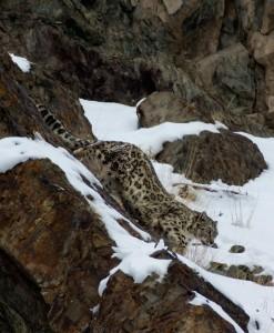 Snow Leopard Annual Report