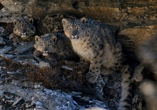 Tashi R Ghale/GPN Nepal Snow Leopard Family
