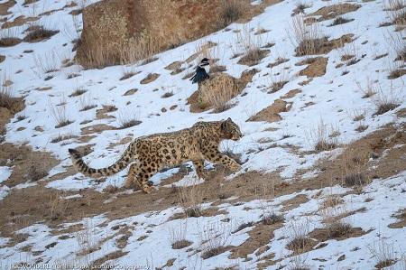 Jak Wonderly snow leopard 2018