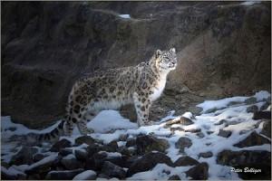 Peter Bolliger snow leopard