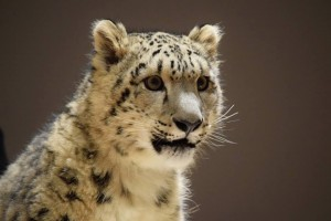 Snow Leopard Ambassador, Bhutan - Wild Cat Education & Conservation Fund