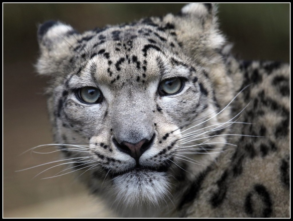 Snow Leopard - Steve Tracy