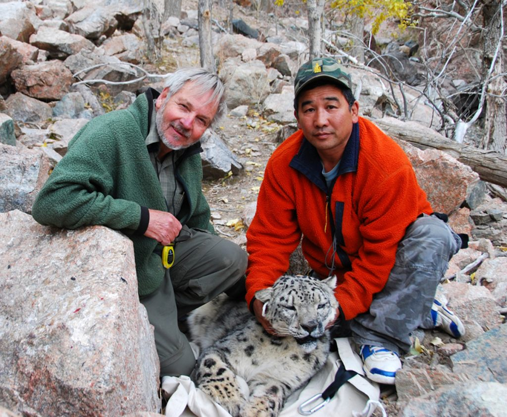 Dr. Rodney Jackson and Dr. B. Munkhtsog with sedated snow leopard