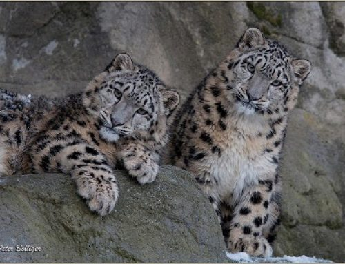 Art & Poetry Contest – Capture the Spirit of the Snow Leopard – Launches the Conservancy's New Website